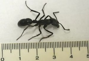 Большие муравьи