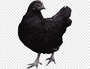 Черная курица во сне