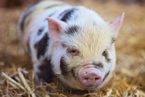 Говно свиней во сне