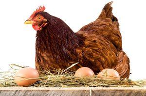 К чему снится курица, несущая яйца