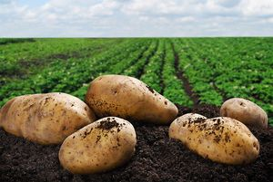 Картофельное поле
