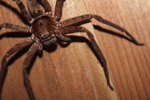 Коричневый паук во сне