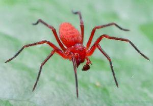 Красный паук во сне