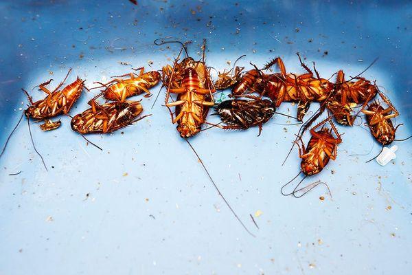 Мёртвые тараканы