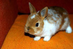 Приснился домашний кролик