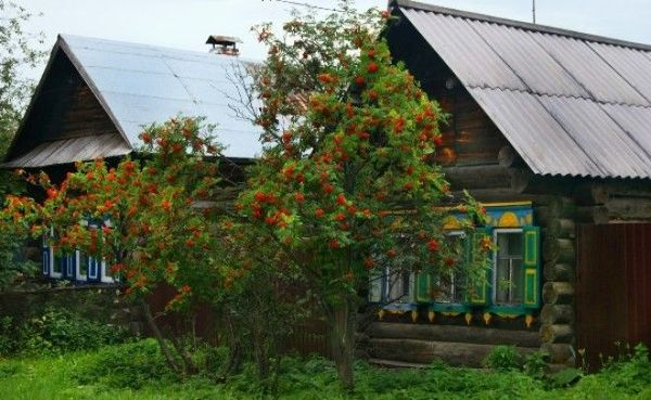 Рябина около дома