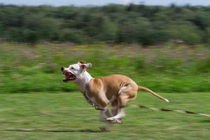 Собака гонится