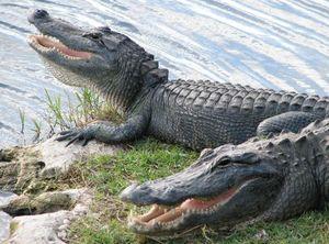Живой крокодил