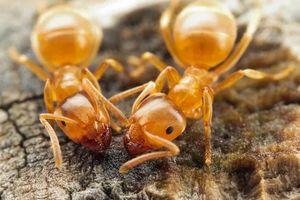 Жёлтые муравьи