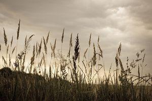 Злаки на поле во сне