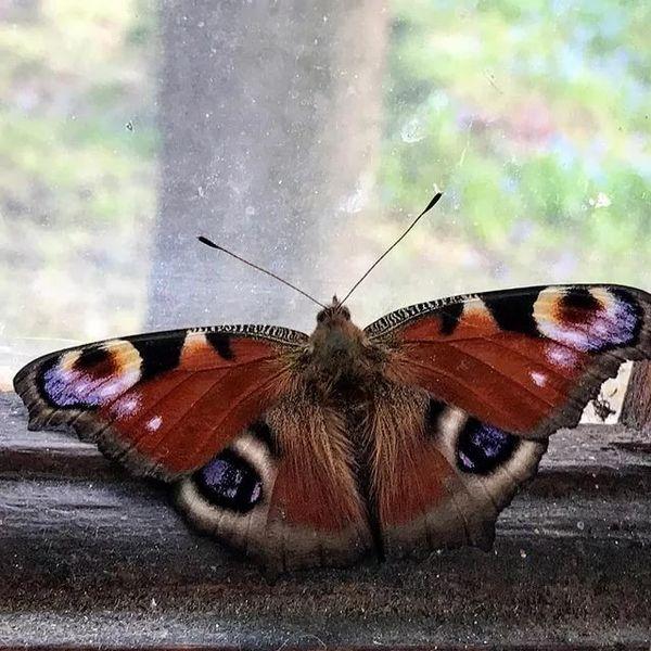 бабочка на окне