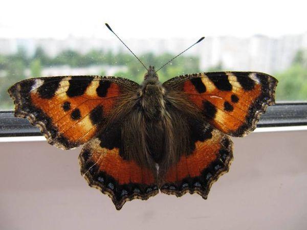 бабочка залетела в квартиру