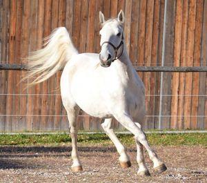 белые кони во сне