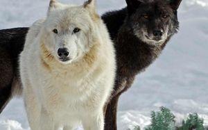 белый и черный волк снятся