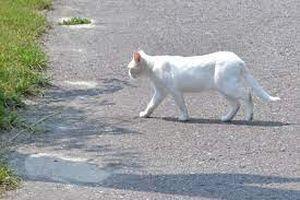 белый кот на дороге
