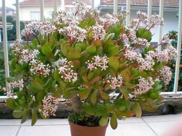 денежное дерево цветёт