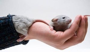 держать крысу в руках во сне