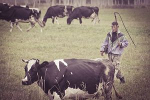 гнать коров