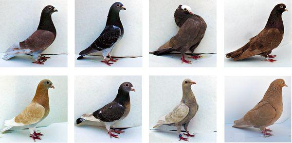 голуби разных цветов