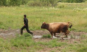 гонится корова