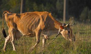 истощенная корова