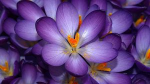 к чему снятся Фиолетовые цветы