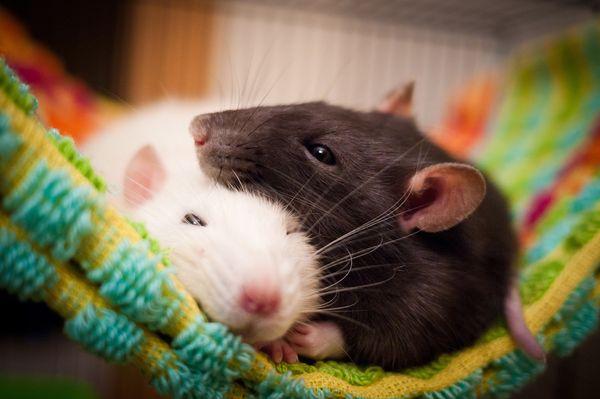 к чему снятся мыши женщине