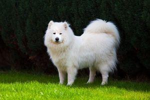 к чемун снится белая собака