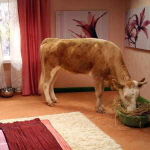 корова в доме