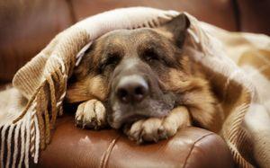 крупный пёс снится