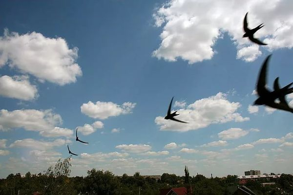 ласточки летят низко