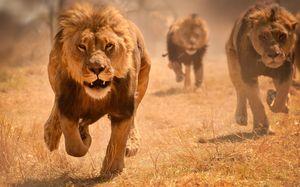 лев гонится