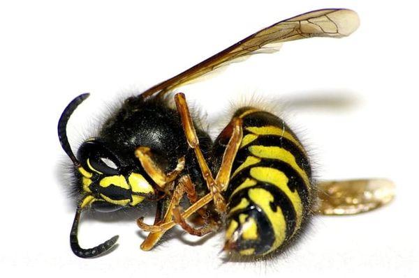 лежащая пчела
