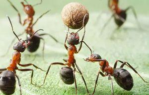 муравьи пассивные