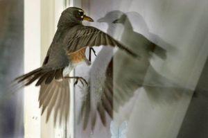 птица, бьющаяся в окно