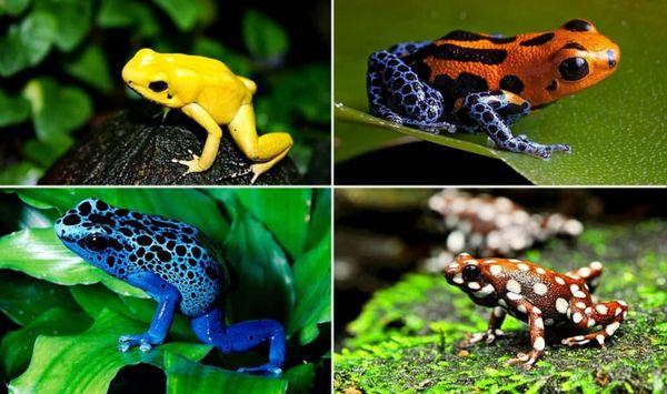 разноцветные лягушки