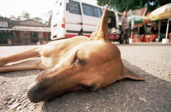 сбитая собака