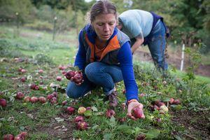собирать яблоки во сне