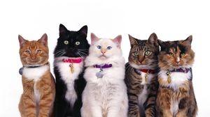 цвета кошек
