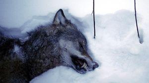 снится убитый волк